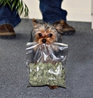 This is your dog on drugs: Marijuana poisoning on the rise in pets