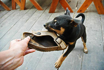 dog chewing shoes unleash