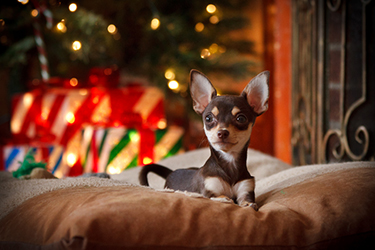 Chihuahua-Puppy-Under-the-Tree-Waiting-for-Santa